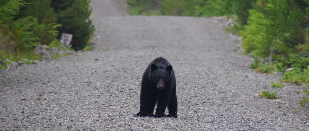 black bear on gravel road in BC
