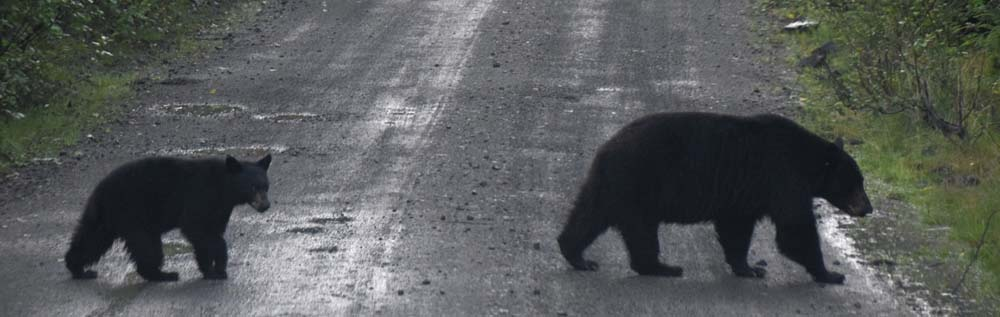 mama and baby bear crossing the road
