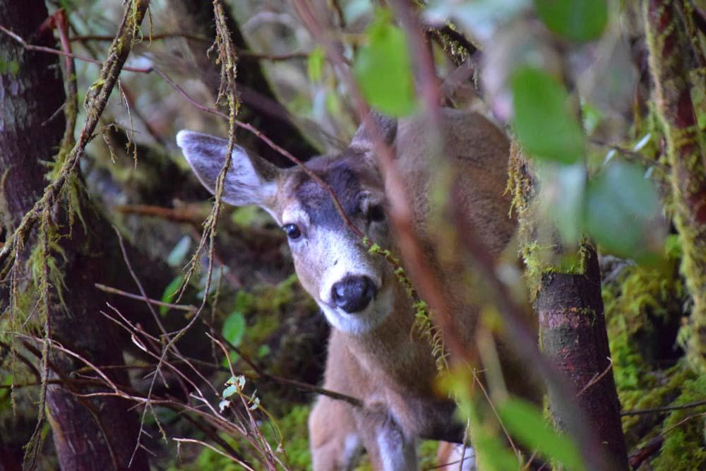 Black Tail Deer in Woods